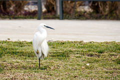 Snowy Egret standing on one leg Stock Images