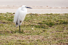 Snowy Egret standing on one leg Stock Image