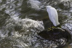 A Snowy Egret standing on a rock with rushing water around it stock image