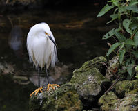 Snowy Egret standing Royalty Free Stock Images