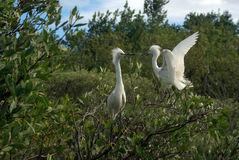 Snowy Egret Standoff Royalty Free Stock Images