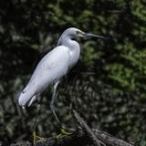 Snowy Egret stands on shoreline. A snowy egret stands on the edge of the Tempisque river in Costa Rica's Palo Verde national park Royalty Free Stock Photography