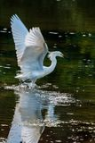 Snowy Egret Starting to Fly Royalty Free Stock Images