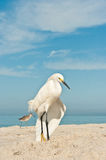 Snowy Egret stretching wing at the beach Royalty Free Stock Photography