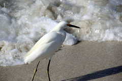 Snowy Egret in the Surf Royalty Free Stock Photo
