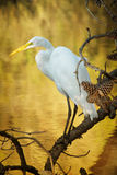 Snowy Egret. A snowy egret surrounded by golden water at the Chincoteague National Wildlife Refuge in Virginia Stock Photography