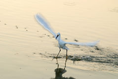 Snowy Egret. Taking off with a fish Stock Images