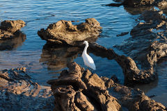 Snowy egret in tide pool Royalty Free Stock Image