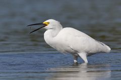 Snowy Egret tossing a small fish in the air - Pinellas County, Florida Royalty Free Stock Photography