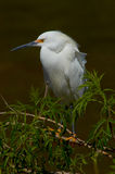 Snowy Egret on tree Royalty Free Stock Photos