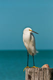 Snowy egret at a tropical beach Stock Image