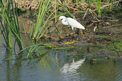 Snowy Egret. View of snowy egret hunting in wetland area, Port Aransas, Mustang Island, south Texas, United States stock photography