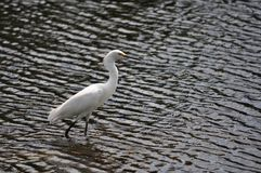 Snowy Egret Wading Royalty Free Stock Photo