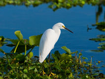 Snowy Egret Wading Stock Images