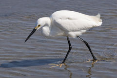 Snowy Egret wading at low tide. Snowy Egret strolling through the water at low tidelooking for a meal Stock Photo