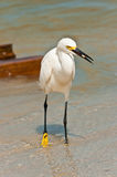 Snowy Egret wading in tropical seashore Stock Photo