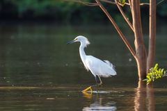 Snowy Egret wading in water Royalty Free Stock Images