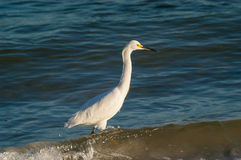 Snowy Egret wading through water. Looking for food on a cool, fall morning Royalty Free Stock Images