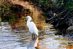 Snowy Egret. A Snowy Egret waiting patiently in the water at Paynes Prairie, in Gainesville, Florida royalty free stock photos