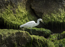 Snowy Egret. A Snowy Egret walking across green mossy rocks on the beach near Tulum, Mexico Royalty Free Stock Image