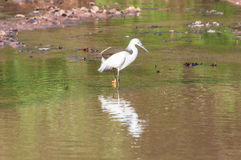 Snowy Egret walking along the lakefront hunting some food Stock Images