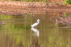 Snowy Egret walking along the lakefront. With its feet in the water. Bird reflected in the lake water Stock Photo