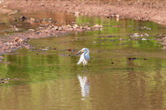 Snowy Egret walking along the lakefront. With its feet in the water. Bird reflected in the lake water Stock Image
