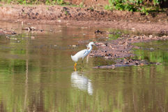 Snowy Egret walking along the lakefront. With its feet in the water. Bird reflected in the lake water Royalty Free Stock Photos