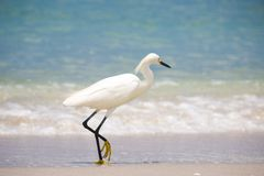 Snowy Egret Walking on Beach Stock Image