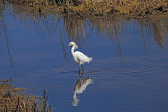 Snowy Egret Walking-Chincoteague National Wildlife Refuge Stock Photo