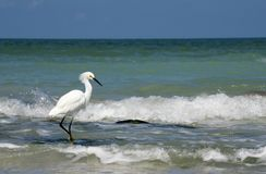Snowy Egret Egretta thula walking in shallow water in the Gulf of Mexico. stock image