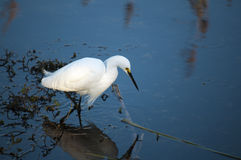 Snowy egret watchfully wait in the water Stock Photos