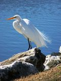 Snowy Egret by water. Snowy white Egret standing on rock on shore Stock Images