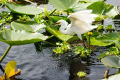 Snowy egret on water lilies Royalty Free Stock Image