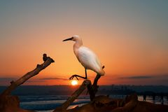 The Snowy Egret on the Water at Malibu Beach in August.  Stock Photography