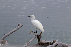 The Snowy Egret on the Water at Malibu Beach in August. (Bird Royalty Free Stock Images