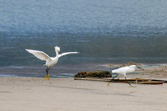 The Snowy Egret by the Water at Malibu Beach in August. (Bird Stock Images