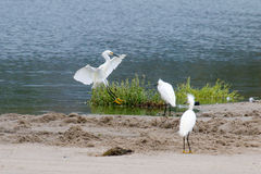 The Snowy Egret by the Water at Malibu Beach in August. (Bird Royalty Free Stock Images