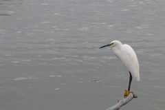 The Snowy Egret on the Water at Malibu Beach in August. (Bird Royalty Free Stock Photography