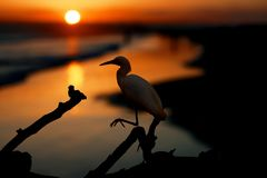 The Snowy Egret on the Water at Malibu Beach in August.  Stock Photos