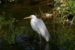 Snowy egret in water Royalty Free Stock Photo