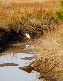 Snowy Egret in Water of Wetland Marsh Stock Photography