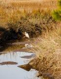 Snowy Egret in Water of Wetland Marsh. White Egret in a coastal saltwater wetland marsh Stock Photography