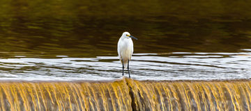 Snowy egret on a waterfall of a lake Royalty Free Stock Photo