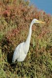 Snowy Egret white heron looking for food. In the Bolsa Chica Wetlands in Orange County California Stock Images