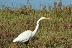 Snowy egret white heron searching for food in the california wetlands. Snowy egret white heron searching for food in the Bolsa Chica Wetlands in Orange County Royalty Free Stock Photography