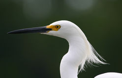 Snowy egret in wind. Snowy egret (Egretta thula) with feathers blowing, Fort Myers, Florida royalty free stock photos