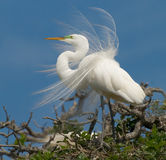 Snowy egret with wind blown feathers. A snowy egret with wind-blown feathers on the top of a tree in Florida royalty free stock images