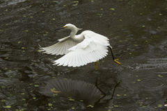 Snowy egret with wings outspread in the Florida Everglades. Stock Photo
