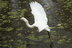 Snowy egret with wings outspread in the Florida Everglades. Snowy egret takes off from a shallow pool of water, wings outspread at Corkscrew Swamp in the Royalty Free Stock Photo